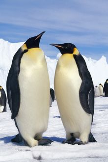 EMPEROR PENGUINS - PAIR