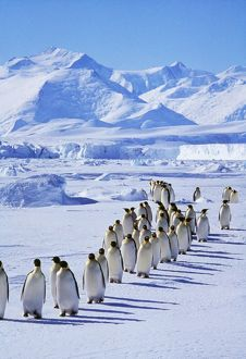 Emperor Penguins - walk in line