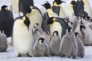 Emperor Penquin - With a large group of chicks