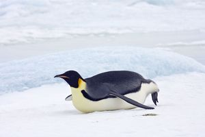 Emperor Penquin - Tobogganing on snow and ice faster than walking