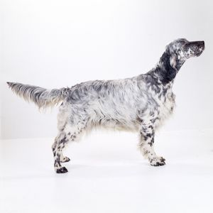 English Setter DOG - side view, standing