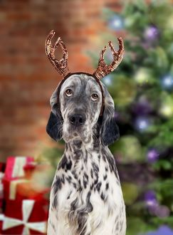 English Setter Dog - wearing antlers in Christmas scene