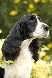 English Springer Spaniel - close-up