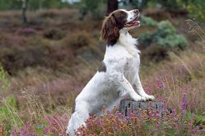 English Springer Spaniel Dog - feet up on tree stump, in heather.