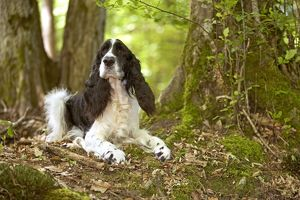 English springer spaniel - lying in woodland