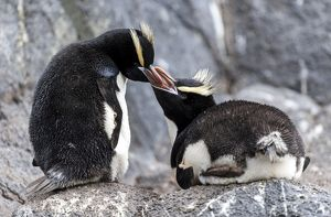 Erect-crested Penguin parent feeding chick