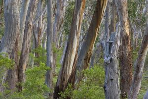 Eucalypt Forest - view into a lightly wooded coastal eucalypt forest with Manna Gum trees