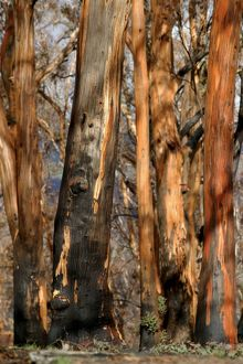 Detail of Eucalypt trunks.after bushfire with some