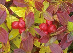 Eurasian Dwarf Cornel - with berries and colourful autumn foliage