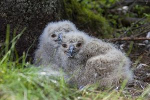 Eurasian Eagle-Owl - young with prey in nest - Sweden