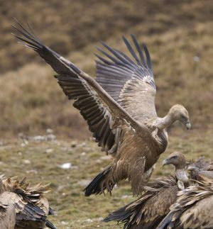 Eurasian Griffon Vultures - fighting over carcass
