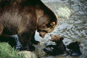 European BROWN BEAR - with cubs by water