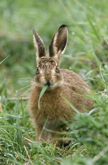 European Brown HARE - eating grass