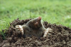 European / Common MOLE - emerging from burrow