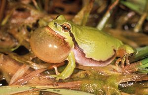 European / Common TREEFROG - calling, with vocal sac inflated