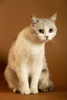 European cream shorthair cat - sitting