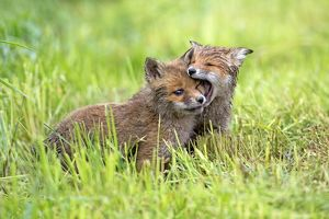 European Red Fox two cubs playing in meadow - Germany