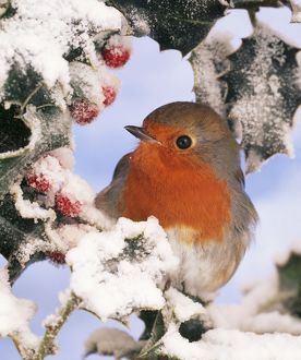 European ROBIN - perched in snow