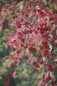 European Spindle - berries and leaves