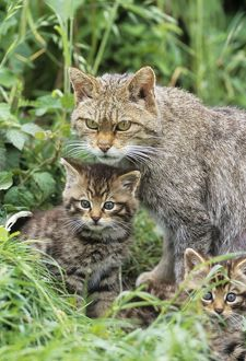 European Wild Cat - adult and kittens