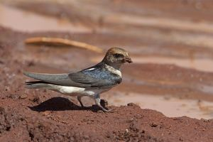 Fairy Martin - collecting mud to construct its