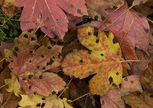 Fallen highly-coloured leaves of sycamore, heavily infested with tar spot fungus