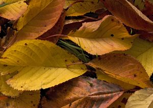 Fallen wild cherry leaves, autumn.