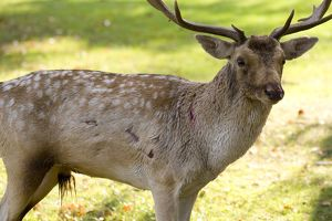 Fallow Deer - male showing wounds sustained during rut