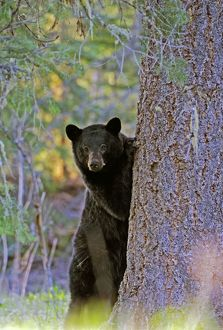 Female Black Bear watching from behind tree