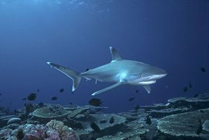 Female Silvertip Reef Shark - these beautiful sharks grow to 3 plus meters in length and can be dangerous to humans.