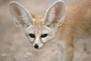 FENNEC FOX - close-up of head, facing camera