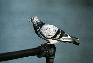 Feral / Urban / Town / Rock PIGEONS / Rock Dove
