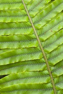 Fern structure - structure details of a Blechnum fern's leaf