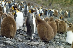 FG-563 King Penguin - colony with chick begging for food from adult.