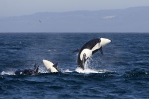 FG-EC-495 Killer whales, Transient type - breaching during a phase of traveling