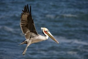 FG-ED-020 Brown Pelican - bird in breeding plumage in flight