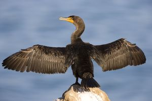 FG-ED-033 Double-crested Cormorant - West Coast nonbreeeding adult with wings spread open