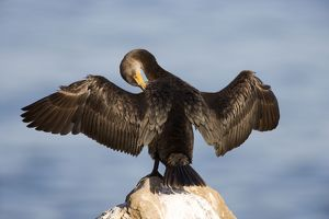 <b>Cormorants</b><br>Selection of 488 items