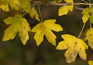 Field maple leaves in autumn.