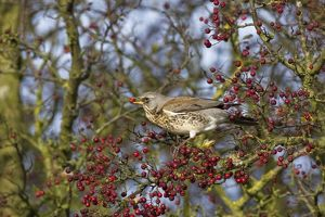 Fieldfare - feeding on hawthorn berries