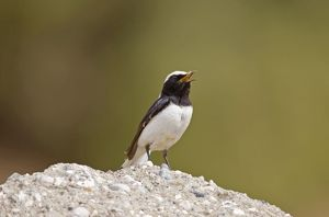 Finschs Wheatear - adult male