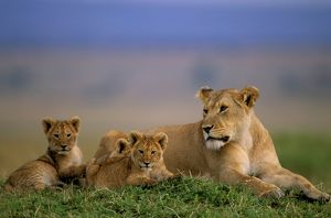 FL-2992 African Lion - Adult and young