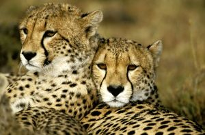 FL-3155 Cheetah - portrait of pair close together