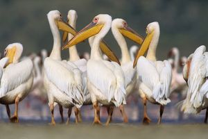 FL-3175 Great White Pelican - group in water