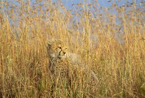 FL-3213 Cheetah - cub half-hidden in tall dry grass
