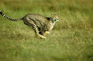 FL-3221 Cheetah - running
