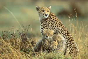 FL-3298 Cheetah - mother with two or three-month old cubs