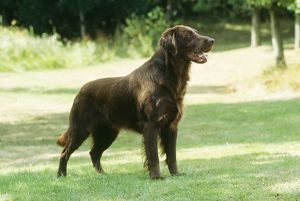 Flat-coated Retriever DOG - standing