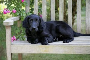 Flat-coated Retriever puppy lying on garden bench - 6 months