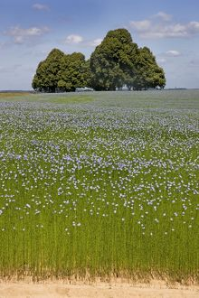 Flax field and Lime Tree